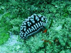 BD-070401-Similan--Phyllidiella-pustulosa-(Cuvier.-1804)-[Pustulose-phyllidiella].jpg